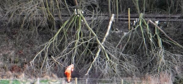Arbori tăiați ilegal în Lunca Ilvei