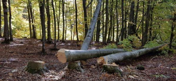 Bărbat din localitate Șanț, cercetat pentru săvârșirea infracțiunii de tăiere fără drept de arbori